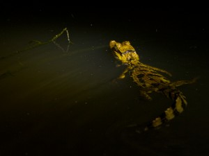 A Spectacled Caiman shined at night in the Yanashi River.