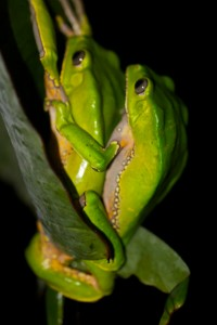 Giant Monkey Tree Frogs hang precariously in amplexus.