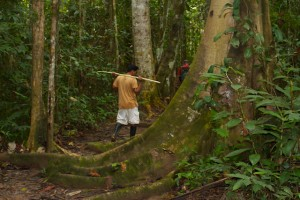 Cezar walking a jungle trail past buttressed tree roots.