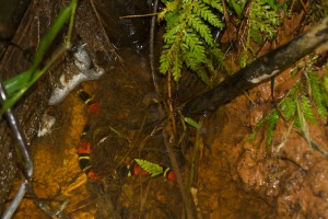 An Aquatic Coral Snake in situ.