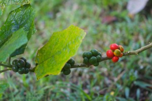 "Wild ""Tree Tomatoes"" are edible and make a refreshing juice."
