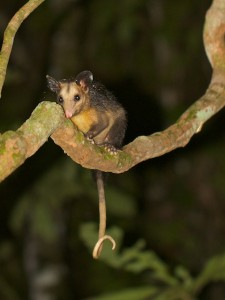 A nocturnal Tree Opossum.
