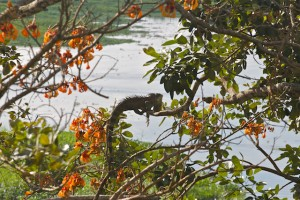 A Green Iguana hangs from a tree near the riverfront of Iquitos.