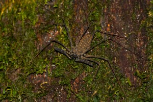 Tail-Less Whip Scorpion - Big, ugly, but completely harmless to man.