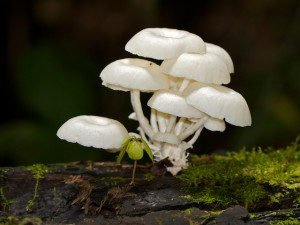 Many Fungi flourish in the Rain Forest.