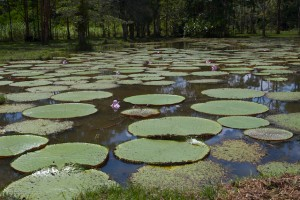 Giant Lily Pads.